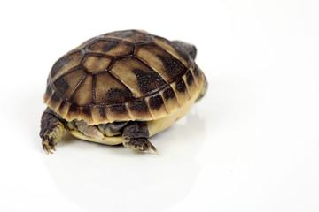 Schildkröte von hinten