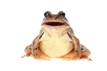 Common frog, Rana temporaria, with open mouth