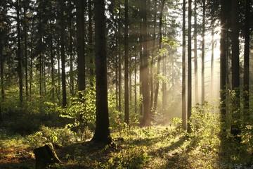 Keuken foto achterwand Bos in mist Misty coniferous forest backlit by the morning sun