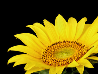 Sunflower, Helianthus annuus, closeup