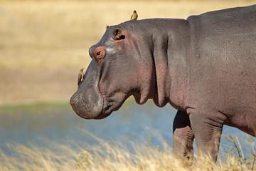 Hippopotamus with oxpecker birds, South Africa