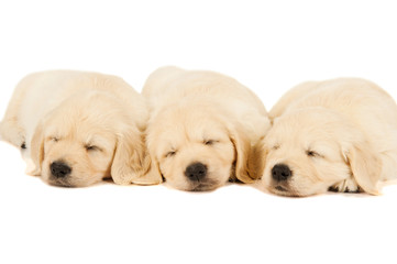 three sleeping puppies