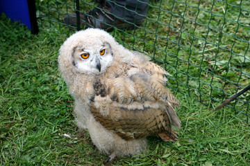 juvenile eagle owl