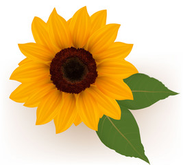 Close up of beautiful yellow sunflower with leaves. Vector.