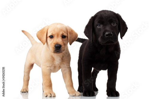 Two Cute Labrador Puppies Stock Photo And Royalty Free Images On