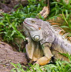 Green iguana on ground and green grass