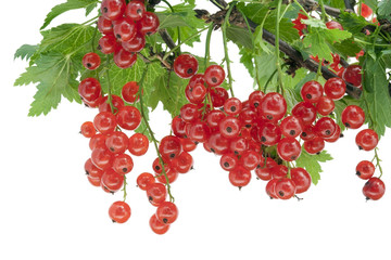 Clusters of  red currant hang on a branch