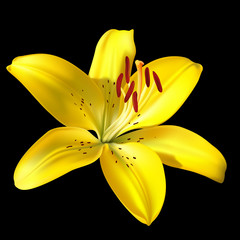 Vector photo-realistic vivid yellow lily isolated on black