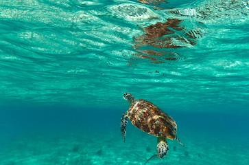Turtle in nature of Caribbean sea