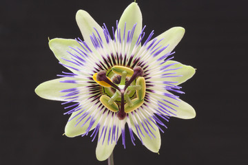 buscar fotos passiflora caerulea. Black Bedroom Furniture Sets. Home Design Ideas
