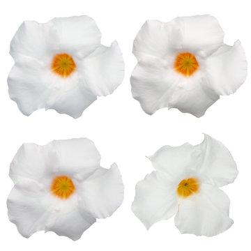 White flowering Mandevilla