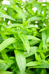 photo of a fresh mint herb