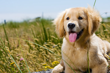 Golden Retriever Puppy with tongue hanging out.