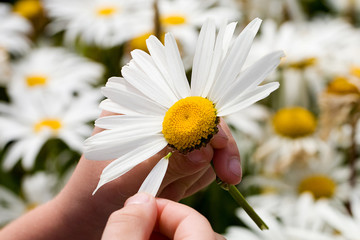 Picking Petals of a daisy