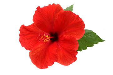 a red hibiscus flower isolated on white background