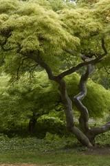 krummer Baum