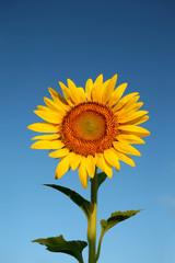 Sun flower with blue sky