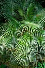 palma foglie 1705