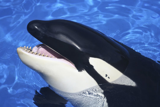 A Close Up of a Killer Whale's Mouth