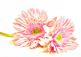 Pink Washed Gerbera Daisies On White