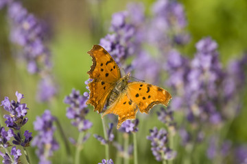 Orange butterfly and lavender