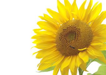 Sunflower over white background