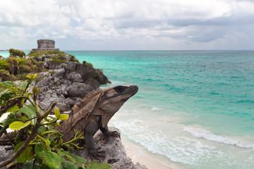 Iguana on the cliff of Tulum - Mexico