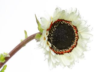Weiße Sonnenblume (Helianthus)