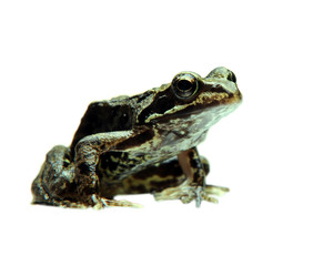 Photo Blinds Frog Curious frog isolated on white