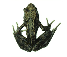 Wall Murals Frog Common frog isolated on white from above