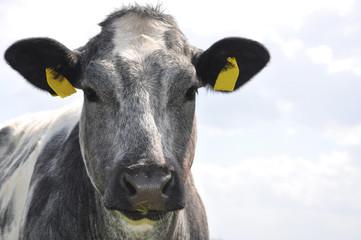 Aluminium Prints Cow Kuh, grau-weisse