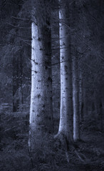 Big spruce trees in  blue forest