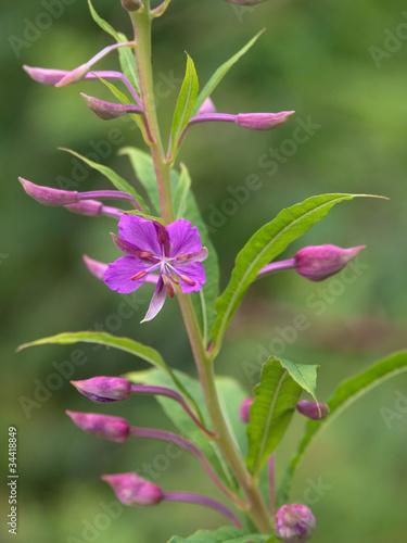 Fleur violette renou e vivipare photo libre de droits sur la banque d 39 images - Image fleur violette gratuite ...