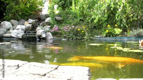 Bassin aquatique de carpe ko clip vid o libre de droits for Acheter carpe koi