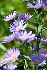 Flower of purple aster