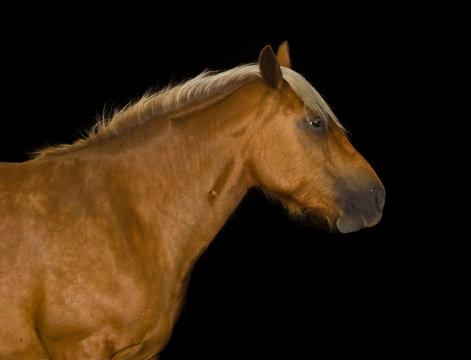 Tête de cheval détourée sur fond noir