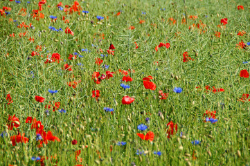 Sommerfeld mit roten und blauen Blumen