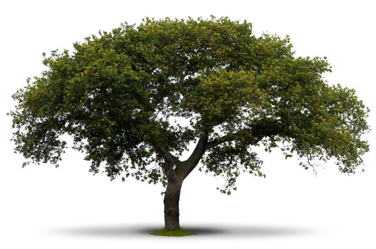 arbres série - arbre feuilles vert isolé fond blanc, nature