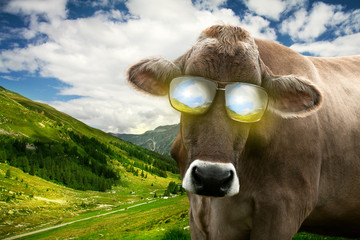 Cow with Sunglasses