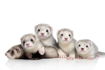 Small Ferrets, posing on a white background Wall mural