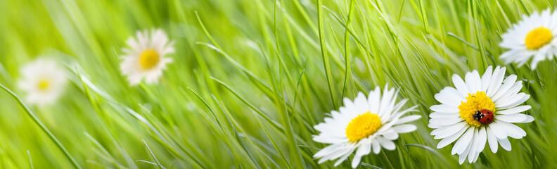 Tuinposter Madeliefjes fleur pâquerette et herbe verte avec une coccinelle et un pré