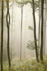 Keuken foto achterwand Bos in mist Misty autumn beech forest