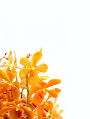 orchid in white background
