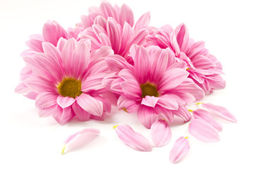 Photo sur Plexiglas Gerbera pink flower