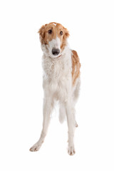 Borzoi or Russian Wolfhound