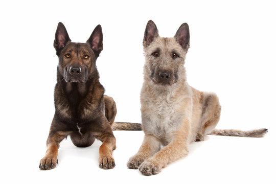 two Belgian shepherd dogs