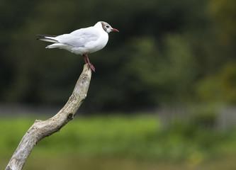 Black headed gull on a stick