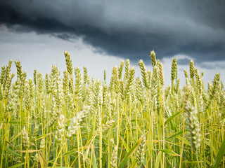rain clouds over a field of wheat