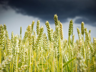 wheat field with stormy rain clouds
