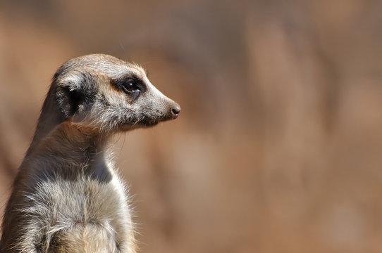 tête de suricate 2